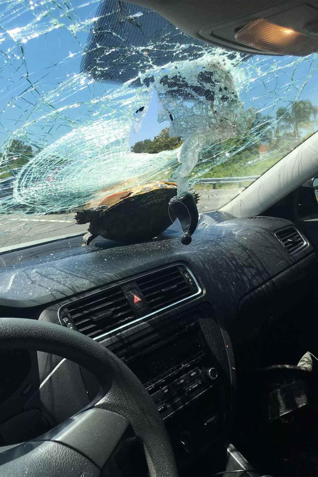 Tartaruga atravessa para-brisa de carro e atinge mulher na cabeça. Foto: reprodução
